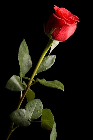 red head: Beautiful red rose on a black background