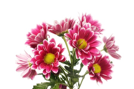 Chrysanthemum flower isolated on white background Stock Photo - 9035766