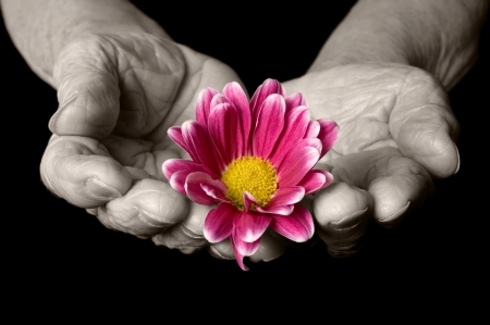 Old hands with a flower on the black photo