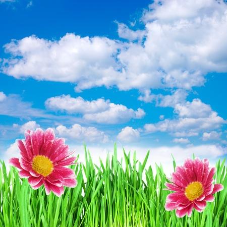 crisantemos: flores de primavera en la hierba contra el cielo Foto de archivo