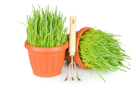 Green grass in a pot isolated on a white background photo