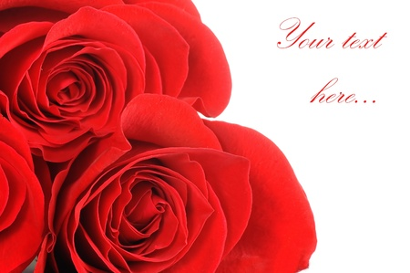 The beautiful red rose isolated photo
