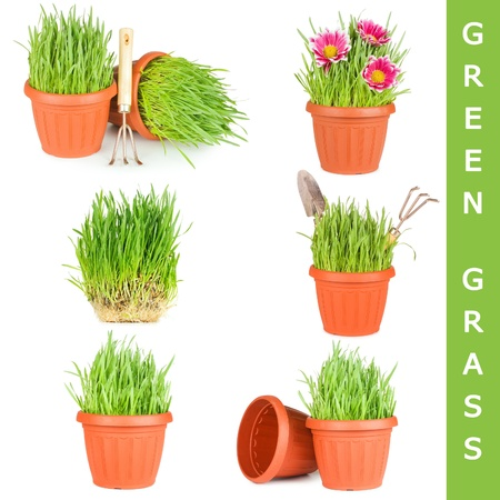 Green grass in a pot isolated photo