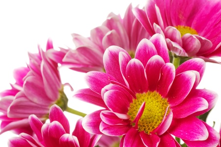 Beautiful pink chrysanthemum  isolated on white photo
