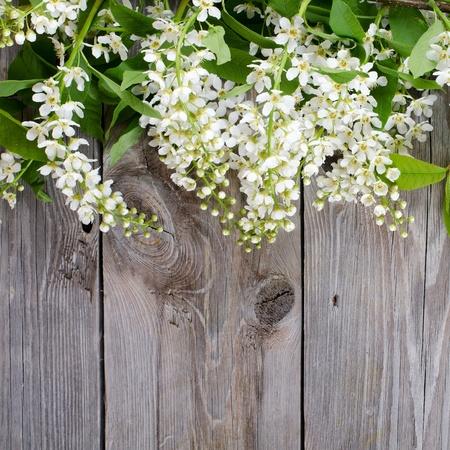 primavera: Bird cherry sucursales en superficie de madera Foto de archivo