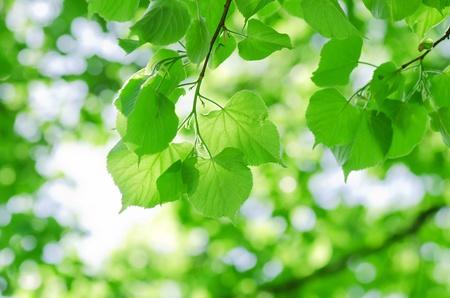 young leaf: Hojas de primavera en una rama de �rbol Foto de archivo