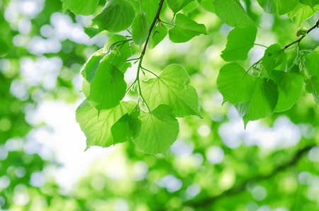 bladeren: Lente bladeren op een boomtak