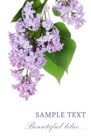 Beautiful lilac isolated on white background Stock Photo - 9773966