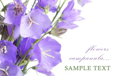 Beautiful blue flowers campanula isolated on white photo