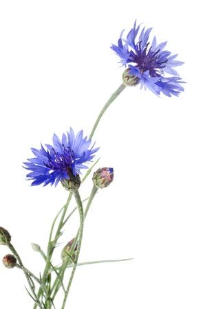 Cornflower: Beautiful blue cornflower isolated on white background Stock Photo