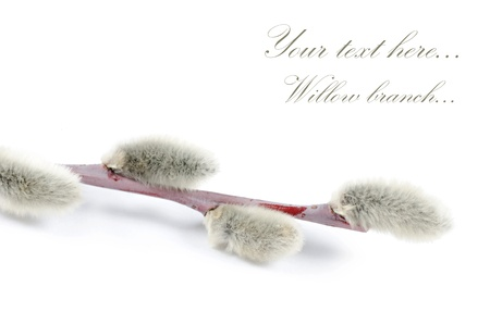 pussy tree: Beautiful branch of willow isolated on white Stock Photo
