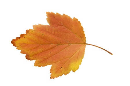 The autumn leaf isolated over white background photo