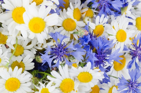 The beautiful blue cornflower as a background photo
