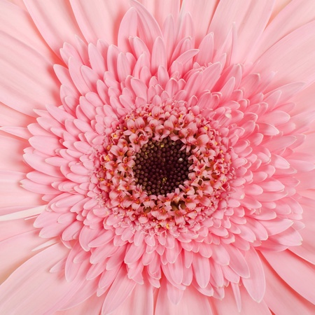 season specific: The gerbera flower as a background, close-up
