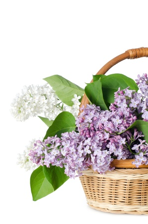 The beautiful lilac isolated on white background photo
