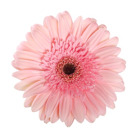 season specific: The gerbera flower isolated on white background Stock Photo