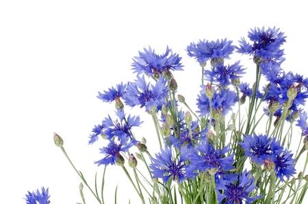 garden cornflowers: Beautiful blue cornflower isolated on white background Stock Photo