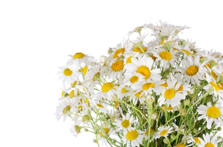 camomiles macro: Bouquet of wild camomiles isolated on white Stock Photo