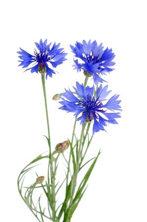 Sch�ne blaue Kornblume isoliert auf wei�em Hintergrund