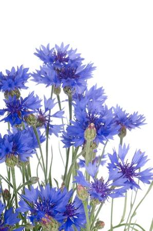 centaurea: Beautiful blue cornflower isolated on white background Stock Photo