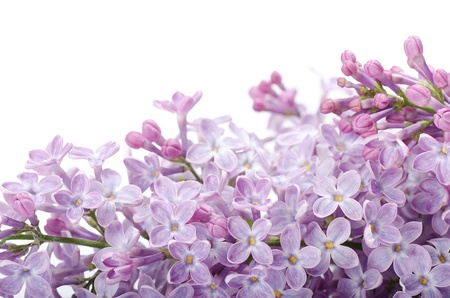 lilac background: The beautiful lilac isolated on white background