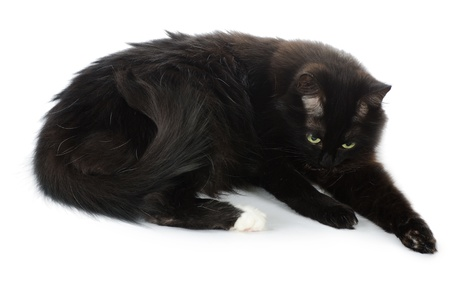 The black cat washes isolated on white photo