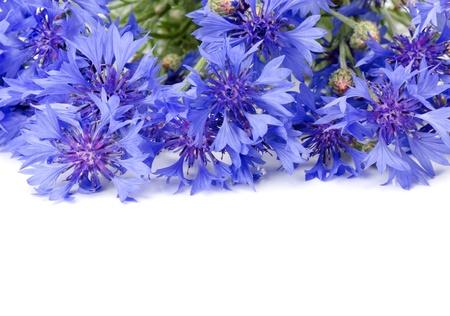 fiordaliso: Bella bluette isolato su sfondo bianco Archivio Fotografico