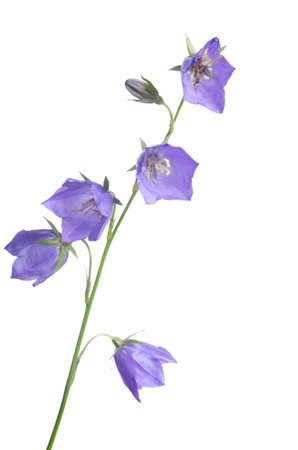 bluebells: Beautiful blue flowers campanula isolated on white