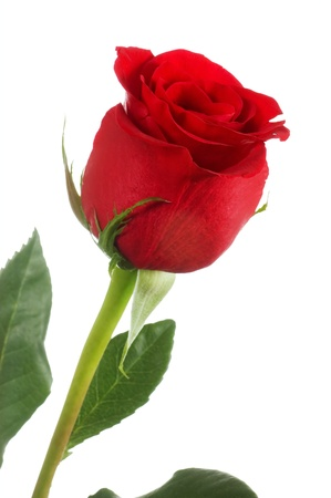 single rose: The beautiful red rose isolated on white Stock Photo