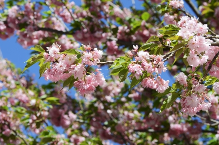 branch with flowers against a background of apple trees in spring foliage photo