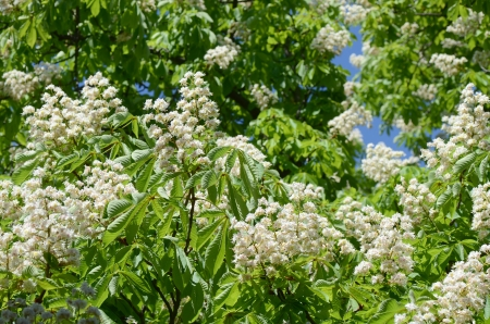aesculus hippocastanum: Foliage and flowers of horse-chestnut (Aesculus hippocastanum)