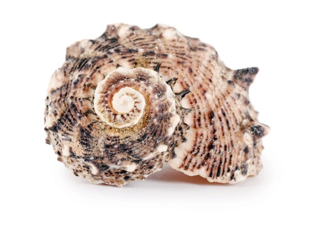Sea shell isolated on a white background Stock Photo - 13756563