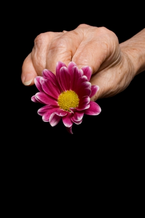 Old hands with a flower on black photo