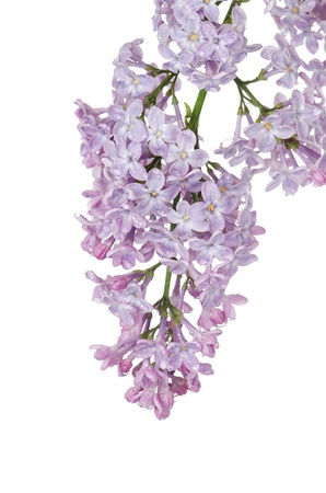The beautiful lilac isolated on white background Stock Photo - 13907277