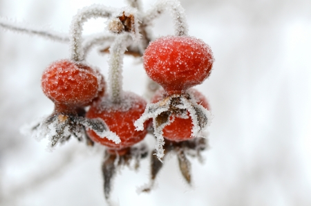 rote: Red rose-hips macro in winter under frost