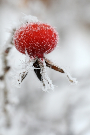rote: Red rose-hips macro in winter under frost  Stock Photo