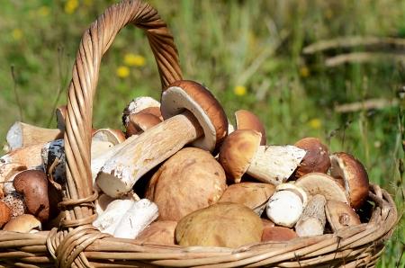 Basket with boletus edulis on a grass Standard-Bild