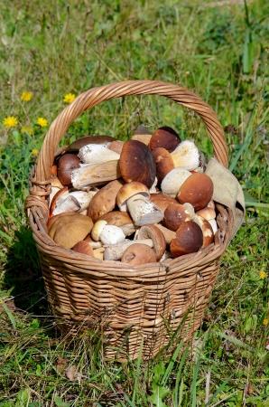 boletus mushroom: Basket with boletus edulis on a grass Stock Photo