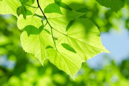 El muelle de hojas en una rama de árbol