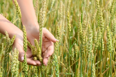 Female hands with wheat ears on field Stock Photo