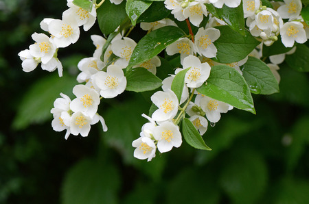 Jasmine flowers - background; beautiful jasmin flowers in bloom