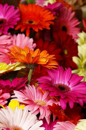 Gerbera: The bouquet gerbera flower as a background
