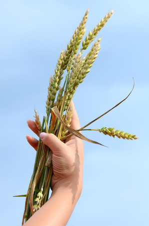 Female hands with wheat ears on field photo