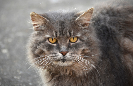 close up image: Close up portrait of a grey cat