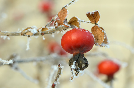 rote: Red rose-hips macro in winter under frost in the cold