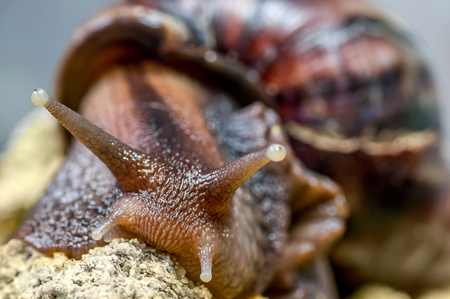 african snail close up