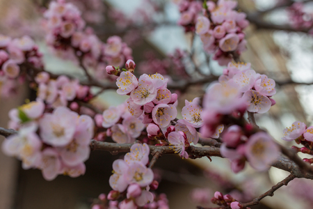 Spring color. Branch with apricot flowers