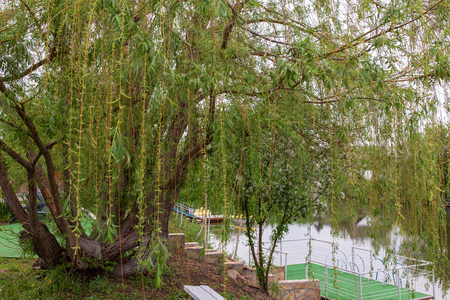 Weeping willow in a public park with a flowering tree in the background