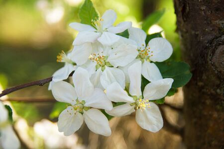 white apple blossoms close up on the outdoor