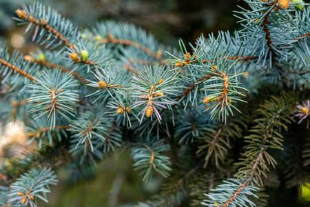 branch of blue spruce close up. soft focus 版權商用圖片
